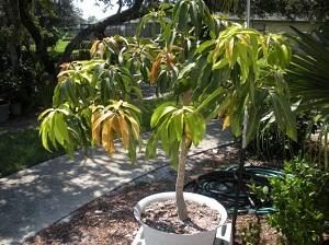 как прорастить косточку манго в домашних условиях