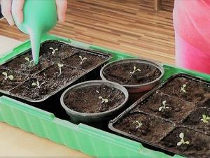 как посадить петунию на рассаду правильно
