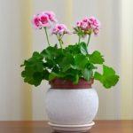 Яркое красочное растение герань: уход в домашних условиях, нюансы посадки, пересадки, полива, освещенности и другие важные моменты