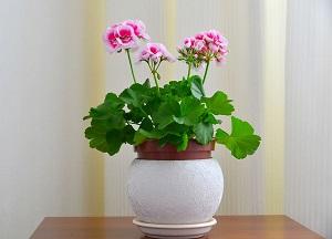 правила выращивании герани в домашних условиях