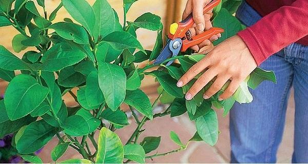 как посадить косточку лимона в домашних условиях