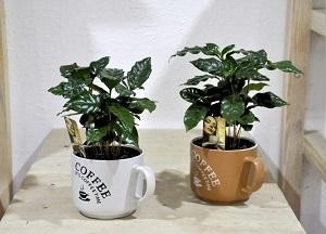 нюансы выращивания кофейного дерева в горшке