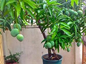 можно ли вырастить манго из косточки