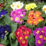 Садовая культура с разнообразием красивых цветов примула многолетняя: посадка и уход, фото и нюансы выращивания неприхотливого растения