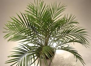 правила выращивания финиковой пальмы из косточки