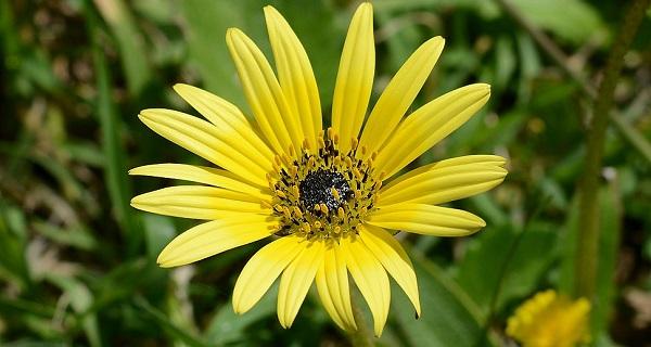 арктотис фото цветов