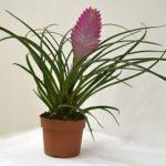 Многолетнее вечнозеленое растение тилландсия: уход в домашних условиях и нюансы выращивания экзотического эпифита