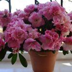 Капризная красавица азалия: уход в домашних условиях, температура и влажность, грунт и освещение, внесение удобрений
