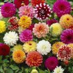 Декоративные многолетники георгины: посадка и уход, фото и сорта, выращивание клубневой культуры