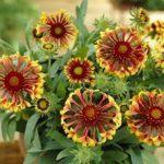 Огненный цветок гайлардия многолетняя: посадка и уход, нюансы выращивания растения для эффектного декора открытых участков
