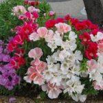 Роскошный цветок с крупными бутонами и яркими красками годеция: выращивание из семян, когда сажать рассаду и как ухаживать за растением