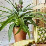 Как вырастить ананас в домашних условиях: оптимальные условия для роста и развития тропического растения