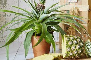 правила выращивания ананаса из верхушки