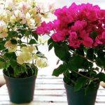 Вечнозеленая лиана бугенвиллия: уход в домашних условиях для полноценного развития и обильного цветения