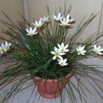 Дождевая лилия или зефирантес: уход в домашних условиях, нюансы выращивания красивоцветущего растения