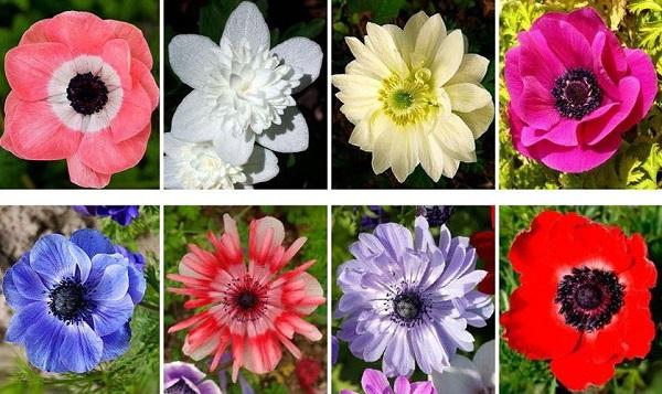 анемоны фото цветов