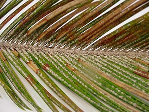 финиковая пальма в домашних условиях фото