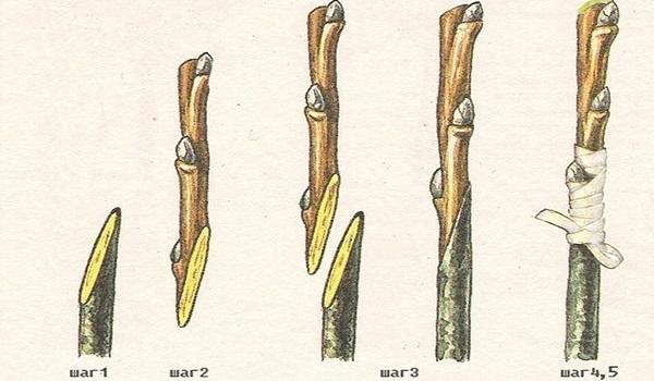 как вырастить гранат из косточки