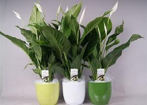 правила выращивания спатифиллума дома
