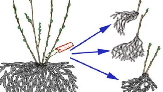 растение аквилегия