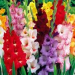 Растения с фантастическими бутонами на длинном цветоносе гладиолусы: посадка и уход в открытом грунте, требования к выращиванию роскошных экземпляров для украшения частного дома и сада