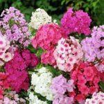 Цветы с эффектными соцветиями-шарами флоксы многолетние: посадка и уход, фото, полезные советы цветоводам