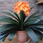 Кафрская лилия или кливия: уход в домашних условиях за необычным растением с удивительным цветением