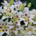 Красивые и нежные цветы лилии: посадка и уход в открытом грунте, секреты выращивания многолетней луковичной культуры