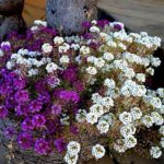 Газонница или лобулярия: посадка и уход в открытом грунте, фото ярких цветов с разнообразными оттенками