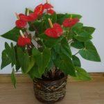 Цветок Мужское счастье или Антуриум: уход в домашних условиях, создание оптимальных условий для тропического растения