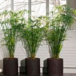 Комнатный папирус или Циперус: уход в домашних условиях, полив и пересадка неприхотливого растения