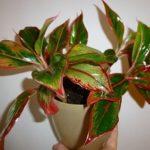 Травянистое растение аглаонема: уход в домашних условиях, особенности пересадки и размножения, правила полива растения