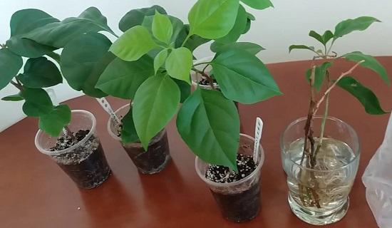 бугенвиллия выращивание и уход