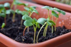 какие цветы можно сеять на рассаду в феврале