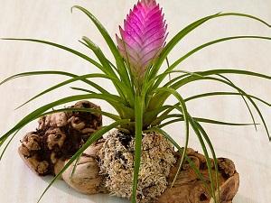 комнатный цветок тилландсия
