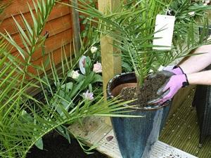 финиковая пальма фото в домашних условиях уход