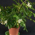 Комнатная мурайя: уход в домашних условиях и секреты выращивания экзотического многолетнего вечнозеленого кустарника с приятным ароматом