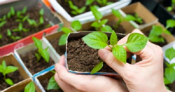 арктотис выращивание из семян