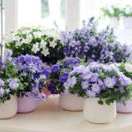 Цветок «Жених и невеста» или Кампанула: уход в домашних условиях за роскошным обильно цветущим ампельным растением