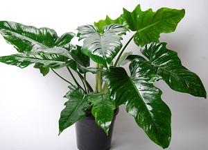 как выращивать филодендрон дома
