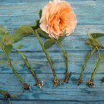 Как вырастить розу из букета в домашних условиях: выбор основы, подготовка грунта и черенка, уход за молодым цветком