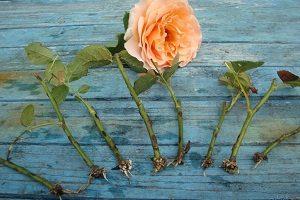 правила выращивания розы из букета