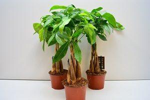 как выращивать Пахиру в домашних условиях