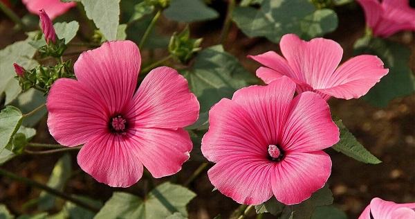 лаватера фото цветов
