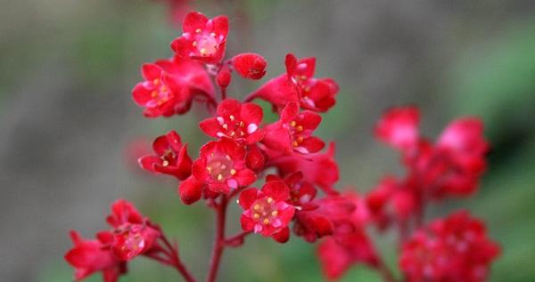 гейхера красиво красная