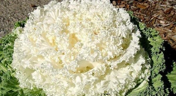 декоративная капуста посев на рассаду