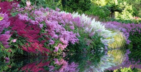 астильба фото цветов