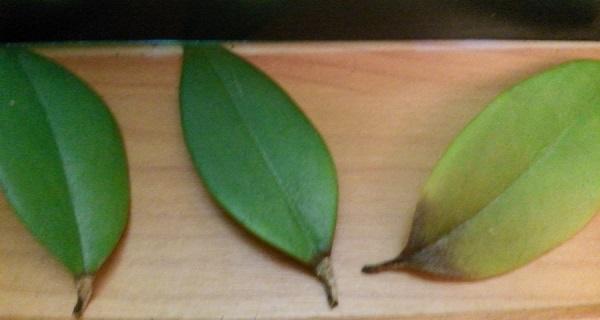 цветок эсхинантус уход в домашних условиях