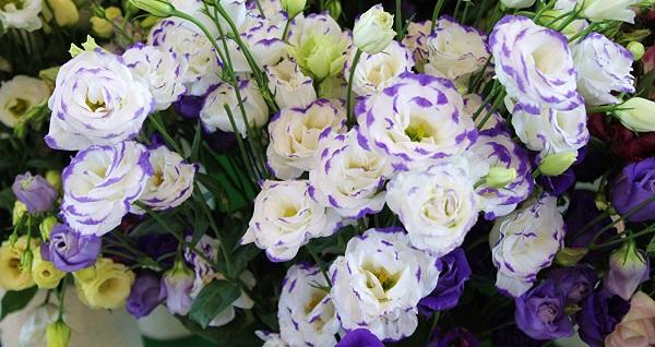 эустома фото цветов