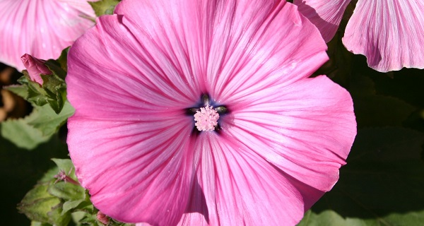 цветы лаватера